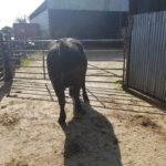 Suckler cow