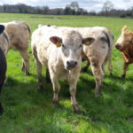 Five star replacement heifers