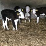 Hereford calves