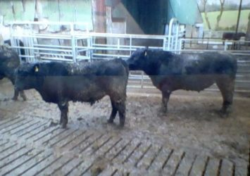 5* and 4* Ped Angus Bulls for Sale 1 – 3 years old.