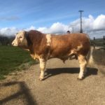 PBR Simmental Bull