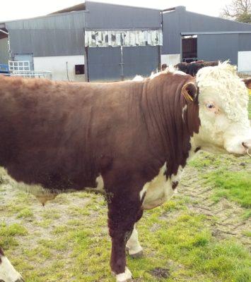Hereford Bull's
