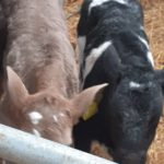 Belgium blue bull calf and charlois heaifer