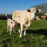 Genotyped 4 star cow and calf