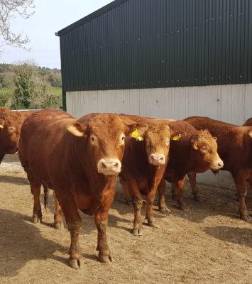 Limousin bulls