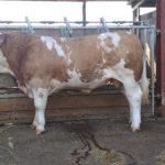 2 PBR simmental bull