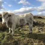 PBR Fiston Bred Bull