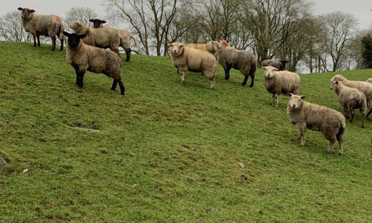 WANTED**Cull ewes and Hoggets**WANTED