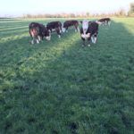 Pedigree Hereford Bulls