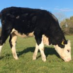 5 Hereford heifers and 2 Hereford bulls for sale