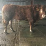 5 star Pbr Limousin bull for sale