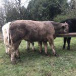 Charolais Bullocks