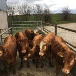 6 Limousine heifers