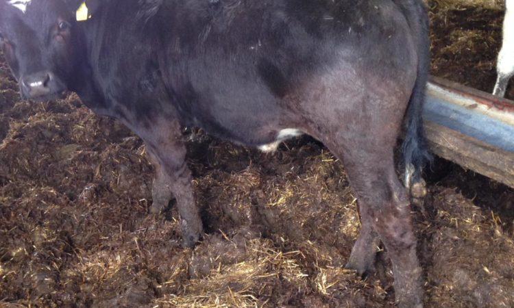 17 weanling bullocks