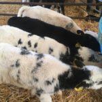 Reared BB Calves