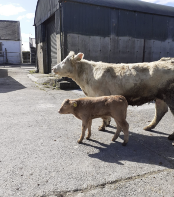 Cow for sale with limousin bull calf at foot