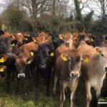 Bulling Heifers for Sale