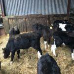 9 freisin bull calves