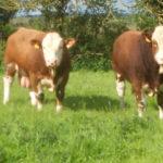 Simmental bulls