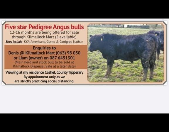 Pedigree Angus bulls for sale