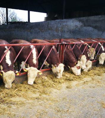 Ballyaville Hereford bulls