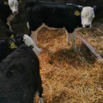 Hereford calves for sale