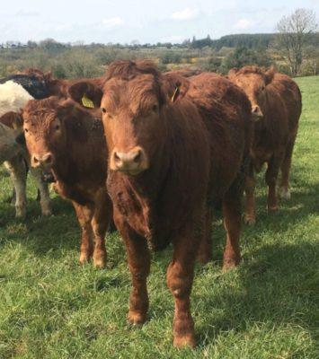 Super Limousin Bullock's