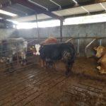 2 Weanling Bullocks for sale