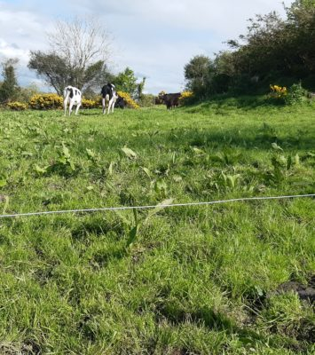 1 british freisan heifer