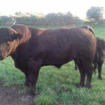 Top Quality Angus Bull