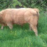 Weanling Bull Ch.