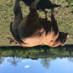 PBR limousine bull
