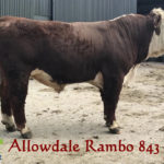 PBR HEREFORD BULLS 18-24 MTHS – AVAILABLE FOR SALE