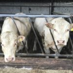 Charolais Bulls
