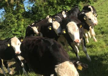 Hereford heifers wanted