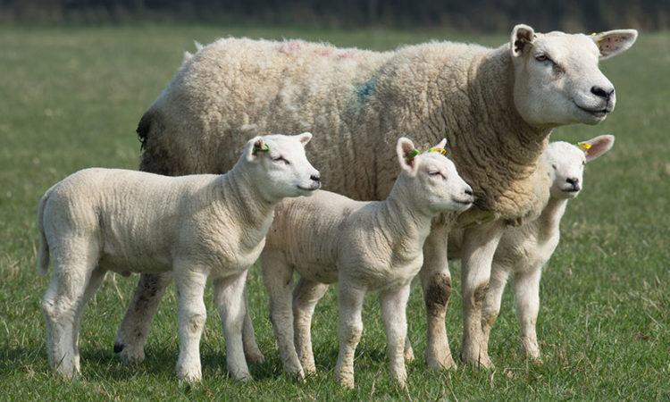 Ram Lambs Wanted