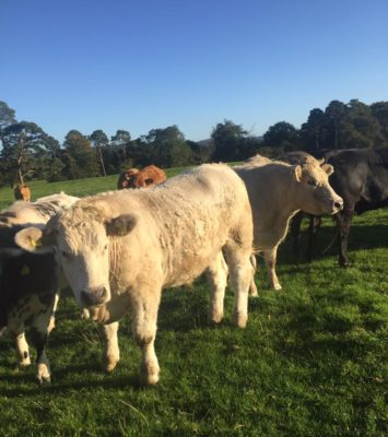 ALL TYPES OF CATTLE WANTED