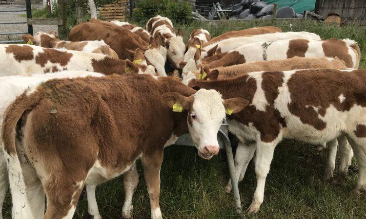 Fleckvieh dairy stock