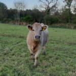 Char and Limousin heifers