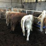 Weanling Bulls & Heifers