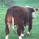 5 Star Polled Hereford Bull