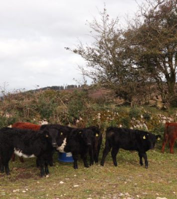 Full Symbol Organic Galloway heifers