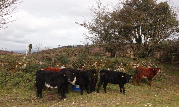 Full Symbol Organic Galloway heifers