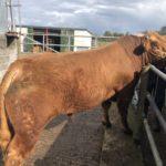 5 Star Pedigree Certified Limousin Bull