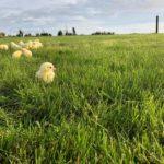 Broiler Chicks