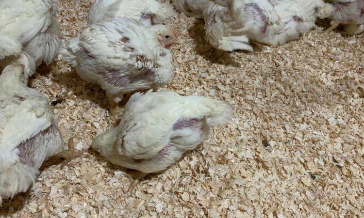 Broiler Chicks Off Heat