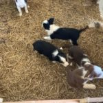 Sheepdog pups for sale