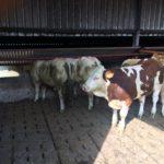 Weanling bulls